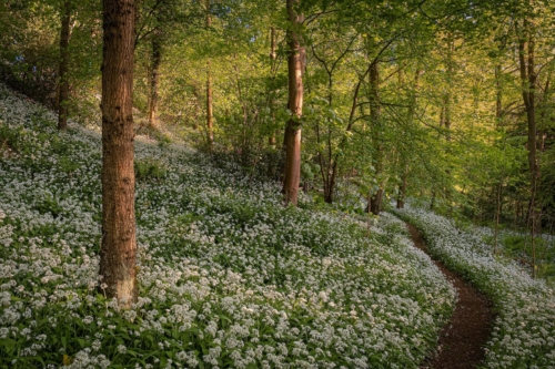 David Queenan WildGarlic