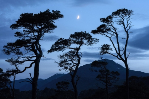 Scots Pine At Dusk, Kenny Muir